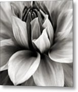 Black And White Dahlia Metal Print by Danielle Miller