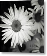 Black And White Daisy 1 Metal Print