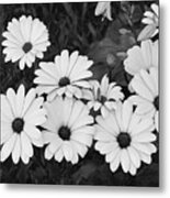 Black And White Daisy Garden Metal Print