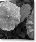 Black And White Dewy Pansy 1 Metal Print