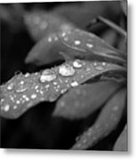 Black And White Dewy Petals Metal Print