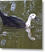 Black And White Duck Reflections Metal Print