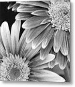 Black And White Gerber Daisies 3 Metal Print