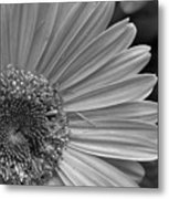 Black And White Gerber Daisy 5 Metal Print