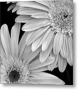 Black And White Gerbera Daisies 1 Metal Print by Amy Fose