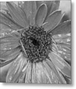 Black And White Gerbera Daisy Metal Print