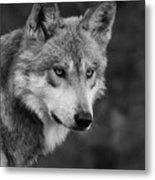 Black And White Mexican Wolf #4 Metal Print
