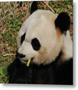 Black And White Panda Bear Eating Green Bamboo Shoots Metal Print