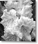 Black And White Rhododendron Metal Print
