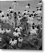 Black And White Susans Metal Print