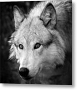 Black And White Wolf Metal Print