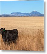 Black Angus Looking Metal Print