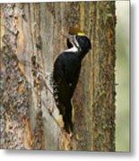 Black-backed Woodpecker Metal Print