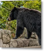 Black Bear Boar Taking In The Sights Metal Print