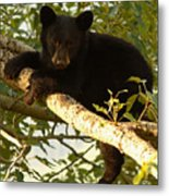 Black Bear Cub Resting On A Tree Branch Metal Print