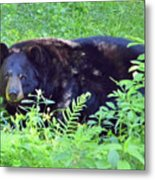 A Florida Black Bear Metal Print