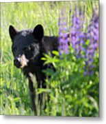 Black Bear Hiding Behind Lupines Metal Print