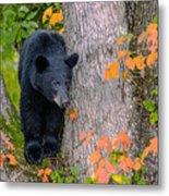 Black Bear In Tree Metal Print