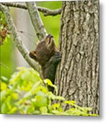 Black Bear Pictures 82 Metal Print