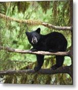 Black Bear Ursus Americanus Cub In Tree Metal Print