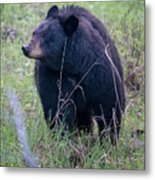 Black Bear Yellowstone Np_grk7085_05222018 Metal Print
