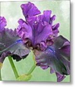 Black Bearded Iris Metal Print