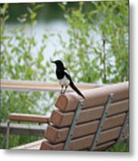 Black-billed Magpie Pica Hudsonia Metal Print