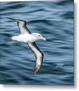Black-browed Albatross Gliding Over Deep Blue Waves Metal Print