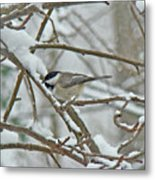 Black Capped Chickadee - Poecile Atricapillus Metal Print