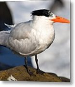 Black Crested Gull Metal Print