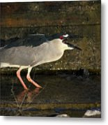 Black Crowned Knight Heron Metal Print