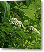 Black Elderberry - Sambucus Nigra_0261black Elderberry - Sambucus Nigra Metal Print