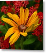 Black-eyed Susan And Yarrow Metal Print