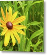 Black Eyed Susan V Metal Print