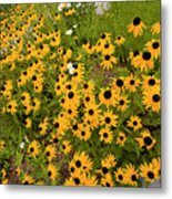 Black Eyed Susans-1 Metal Print