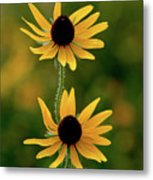 Black Eyed Susans 3276 H_2 Metal Print