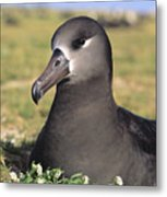 Black Footed Albatross Metal Print