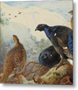 Black Grouse And Gamebirds By Thorburn Metal Print