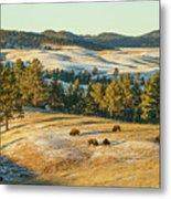 Black Hills Bison Before Sunset Metal Print