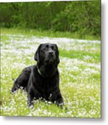 Black Lab Laying In A Field Metal Print