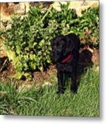 Black Labrador Retriever Puppy Metal Print