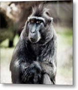 Black Macaque Monkey Sitting Metal Print