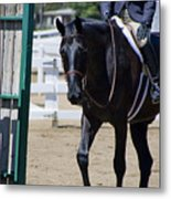 Black Morgan Horse Hunter Jumper Metal Print