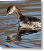 Black-necked Grebe About To Dive Metal Print