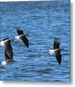 Black-necked Stilts In Flight - 2 Metal Print