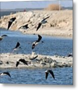 Black-necked Stilts In Flight  Metal Print