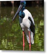 Black-necked Stork Metal Print