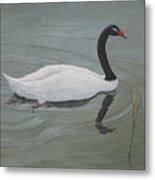 Black Necked Swan Metal Print