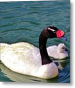 Black-necked Swan With Baby Metal Print
