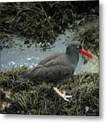 Black Oystercatcher Metal Print